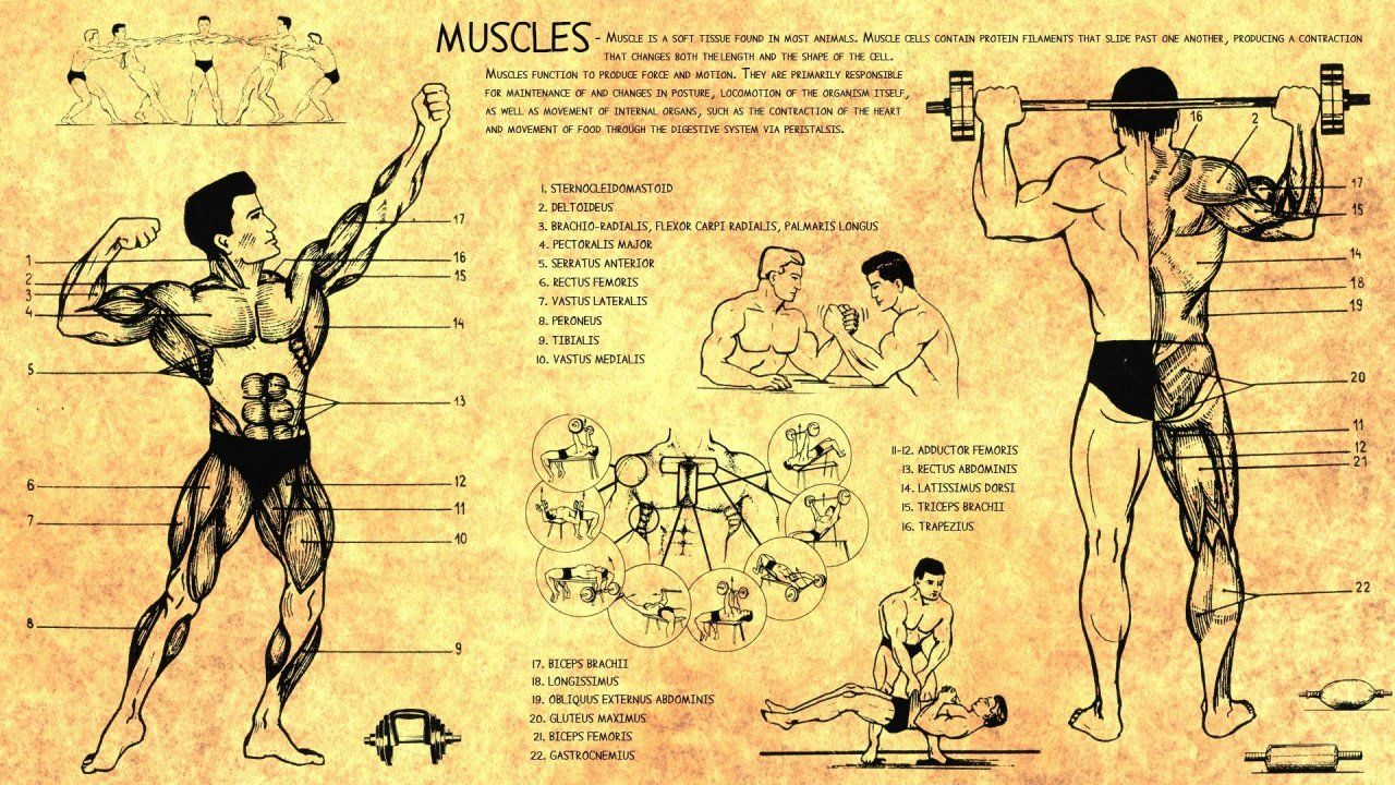 anatomy_human_muscles_bodybuilding_scheme_training_body_Health_1280x720.jpg